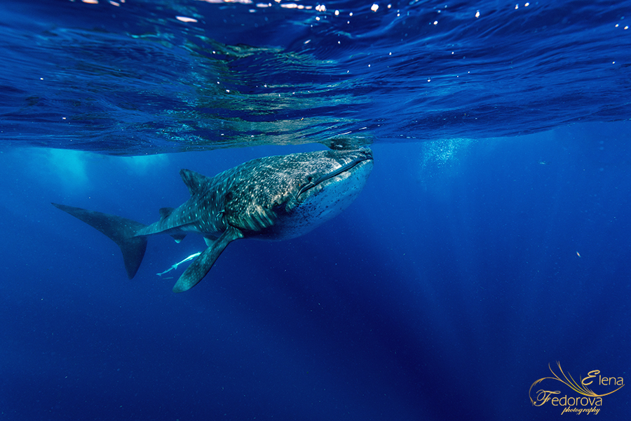 photo whale sharks mexico