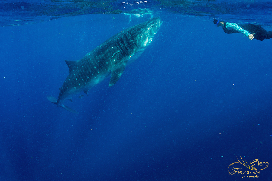 whale sharks cancun mexico