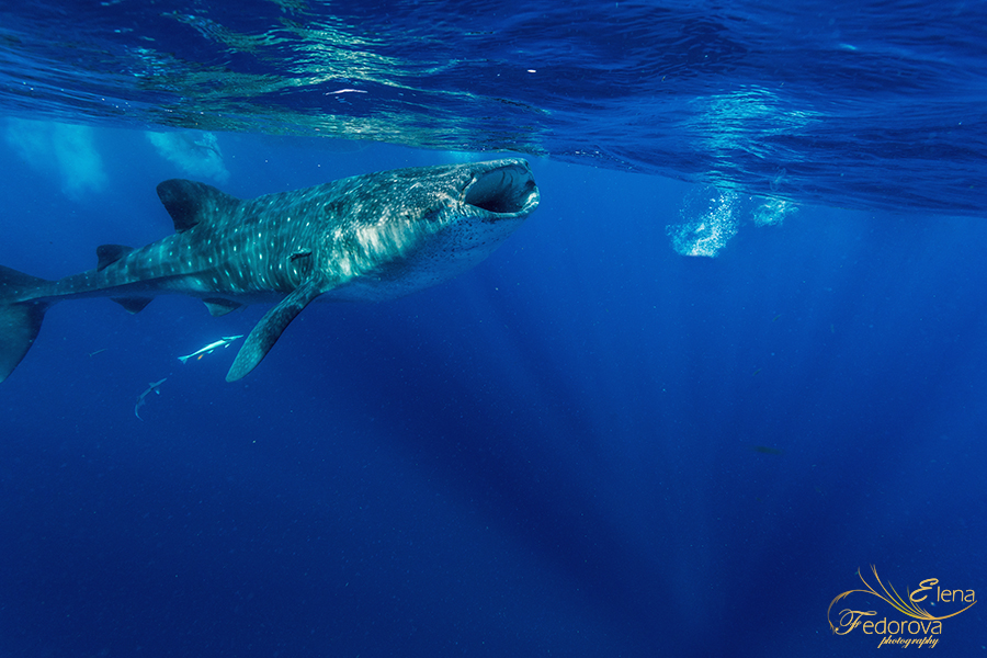 whale sharks feeding photos