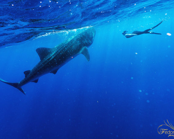 Swimmimg with whale sharks Cancun Isla Mujeres.